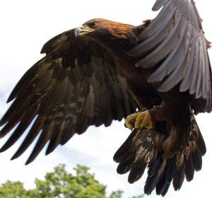 Golden Eagle from Wikimedia Commons