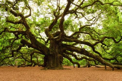 http://fineartamerica.com/images-medium/angel-oak-tree-2009-louis-dallara.jpg