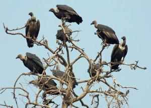 Vultures http://hootingyard.org/