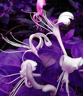 honeysuckle_purple