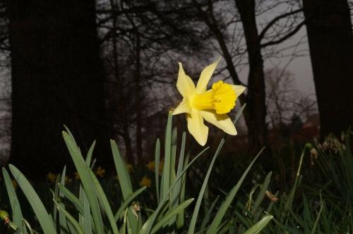 narcissus-287300_1920